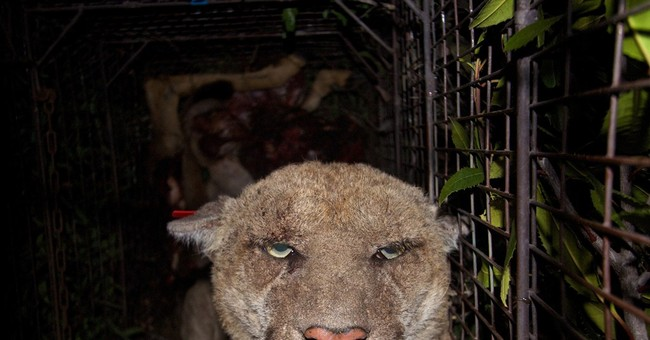 Famous Los Angeles mountain lion exposed to poison